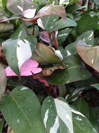 philodendron pink princess philodendron plants houseplants and rare plants