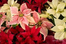 white poinsettia pink and white poinsettias photograph by chris scroggins