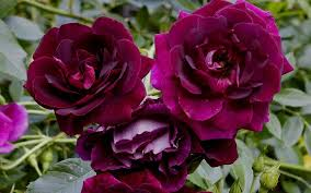 burgundy roses buy burgundy iceberg floribunda 1 gallon bushes