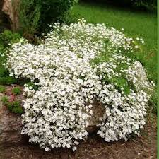 baby s breath flower baby s breath seeds gypsophila perennial flower seeds