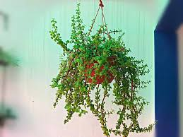 Grow Magnificent Jade Plant in Hanging Basket Easily 5 Steps