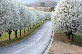 cleveland flowering pear tree buy cleveland select pear trees