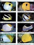 Image result for Chaetodon leucopleura