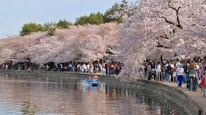 National Cherry Blossom Festival by Cherry Blossoms Endangered If Temperature Drops To 24 Degrees