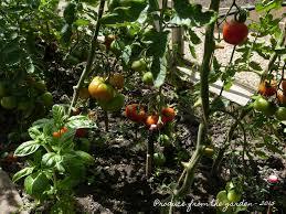 the kitchen garden in june u2013 produce from the garden