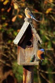 542 best eastern bluebird sialia sialis images on pinterest