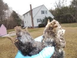 mole removal mole trapping mole control get rid of ground moles