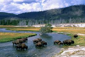 Wyoming rivers images Bison cross the firehole river in yellowstone national park jpg
