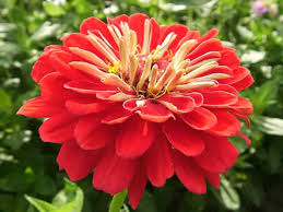 Zinnia Flower Zinnias How To Grow And Care For Zinnia Plants Garden Helper