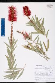native plants fort myers herbarium specimen details isb atlas of florida plants