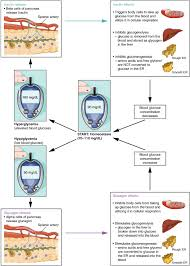 Outline The Anatomy And Physiology Of The Human Body The Endocrine Pancreas Anatomy And Physiology