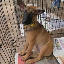 belgian sheepdog on petfinder belgian shepherd malinois mix puppy adopted 5 years patience