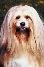 are lhasa apsos hypoallergenic pets
