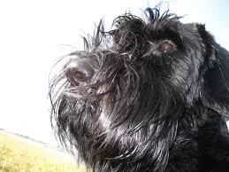 affenpinscher qualities giant schnauzer dogs breeds pets