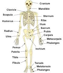 The Human Anatomy Pictures Bones Of The Human Body Scapula Human Skeleton And Skeletons