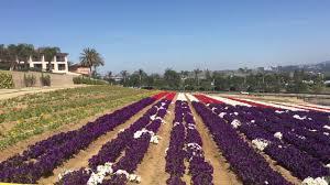 carlsbad flower garden american flag in flowers carlsbad flower field youtube
