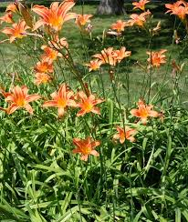 day lillies daylily a forager s delight with 4 edible parts leda meredith