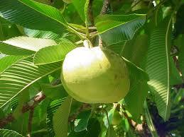 plants native to india fruit of elephant apple dillenia indica family dilleniaceae in