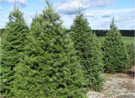 douglas fir wholesale trees
