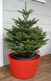 live christmas trees keeping living christmas trees alive an evidence based gardener