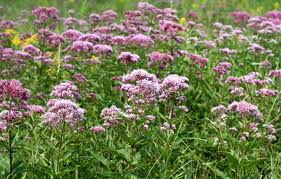 native plants for clay soil top 10 native plants for your michigan garden