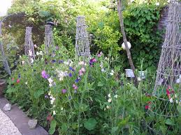 Cottage Garden Ideas Pinterest by Sweet Pea Garden Idea Lathyrus Odoratus Pinterest Garden