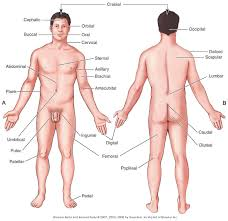 pictures male parts of the body human anatomy diagram