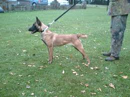 belgian shepherd ohio sold dogs