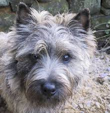 brindle cairn haircut 196 best cairn terriers images on pinterest cairn terrier