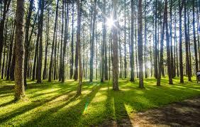 anti gmo groups pressure usda to not approve eucalyptus trees