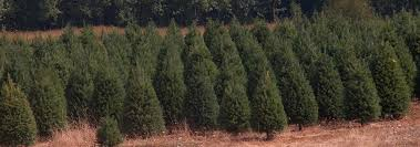 douglas fir trees available for delivery in los angeles