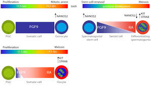 opposing effects of retinoic acid and fgf9 on nanos2 expression download figure