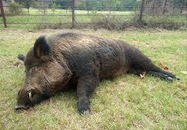 In Backyard East Texas Man Takes Down 416 Pound Wild Hog In Backyard Houston
