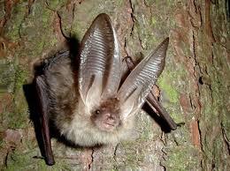 mammiferi volanti una serata alla scoperta dei pipistrelli