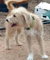 affenpinscher breeders texas affenpinscher dogs for adoption in usa