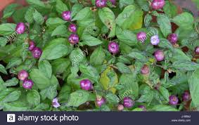 small purple ornamental pepper with green leaves stock photo