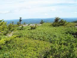 New Hampshire vegetaion images Sheep laurel heath krummholz monadnock mountain monadnock jpg