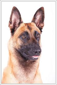 belgian shepherd wolf mix 242 best belgian malinois u0026 schutzhund images on pinterest