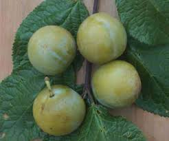 Online Fruit Trees For Sale - gage trees for sale buy fruit trees online