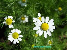create an aromatherapy herb garden yourself and enjoy