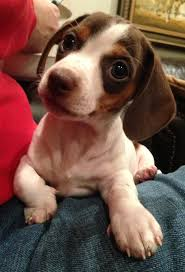 83 best baby miniature daschunds images on pinterest weenie dogs