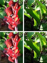 Canna Lily 10 Dark Red Canna Lily Seeds Not Plant Flower Pond Ebay
