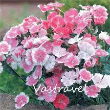 dianthus flower aliexpress buy dianthus flower sweet william 200 seeds mixed