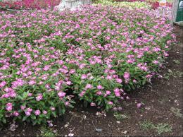 Vinca Flower Information - annual vinca umass amherst greenhouse crops and floriculture program