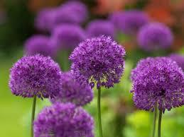 fiori viola fiori viola nomi significato fiori nomi dei fiori viola