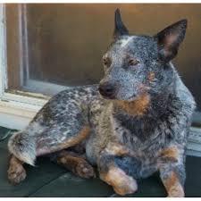 affenpinscher puppies florida what next farm australian cattle dog breeder in williston florida