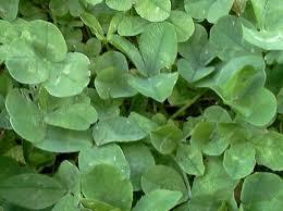 amazon com micro clover 1 lb grass plants garden u0026 outdoor