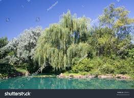 gorgeous weeping willow stands next pond stock photo 2306847