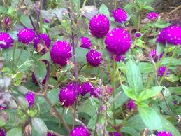 Bachelor Buttons Vadamulla Bachelor U0027s Button Flower Indu Pillai Flickr