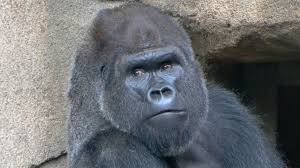 cincinnati zoo welcomes new gorilla one year after the death of